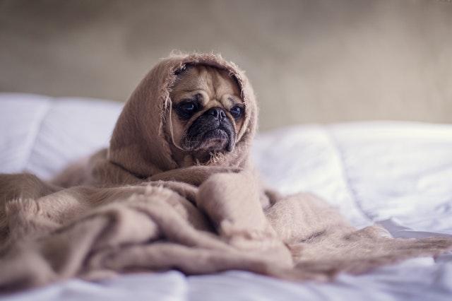 Pes zabalený v deke, sediaci na posteli.jpg
